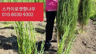 스카이로켓향나무  1m…