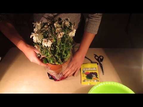 видео: как  спасти цветок из магазина