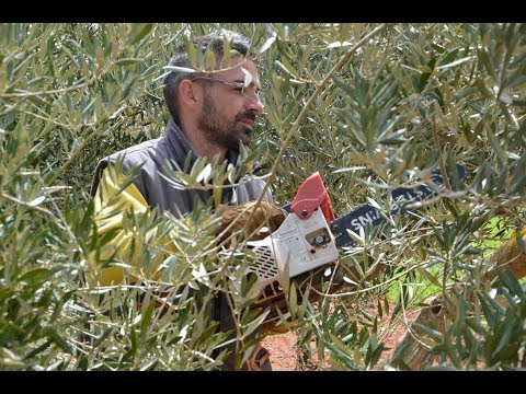 Pruning olives trees