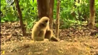 القرد السعدان الذي أزعج النمر  - جودة جيدة -