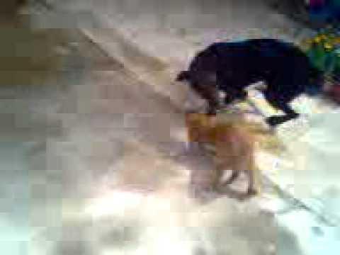Pelea de perros.3gp