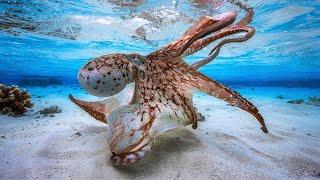hunting-crafty-octopus-on-hawaiian-reefs