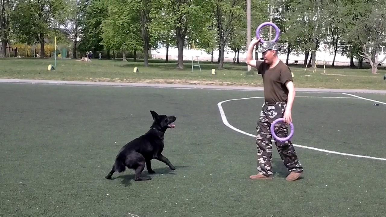 Немецкая овчарка - Дея. Тренировка с пуллером и мячиком.