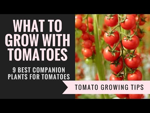 Companion Plants For Tomatoes   9 Plants You Should Grow With Tomatoes