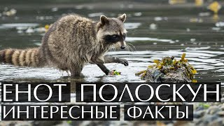 Енот полоскун -  интересные факты