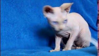 Харлей, котенок Канадский сфинкс, ищет любящих владельцев!