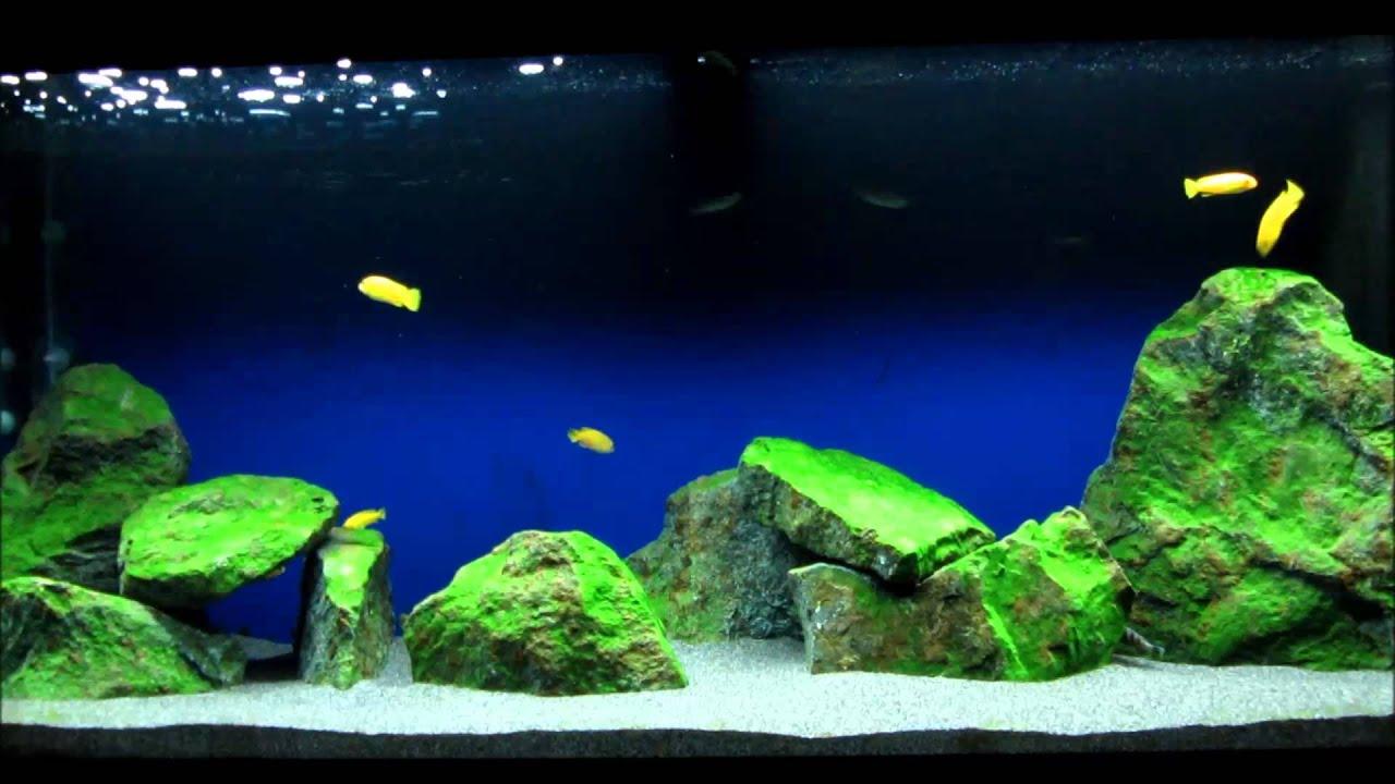 Malawi Mbuna Aquarium 240L - Pseudotropheus Saulosi - YouTube