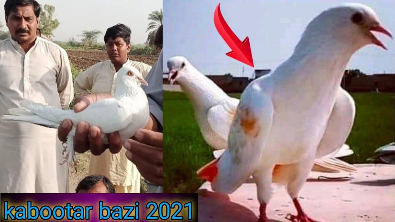 kabootar bazi 2021 punjab   one to one makbla    faisalabad pigeon