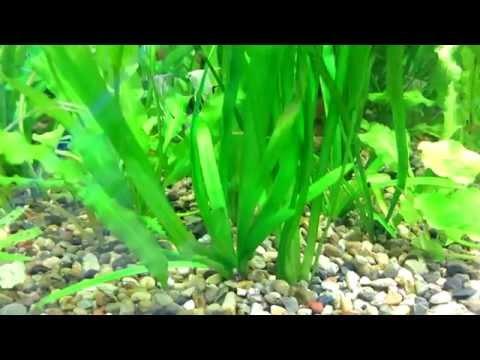 Валлиснерия - Травянистое Пресноводное Растение