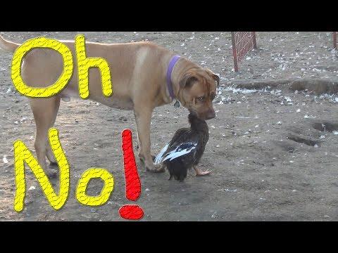 Dug Eating A Duck… #161 Ducks For The Homeless