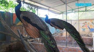 Nuôi chồn hương, chim công kết hợp | Nông dân làm giàu nhờ sáng tạo