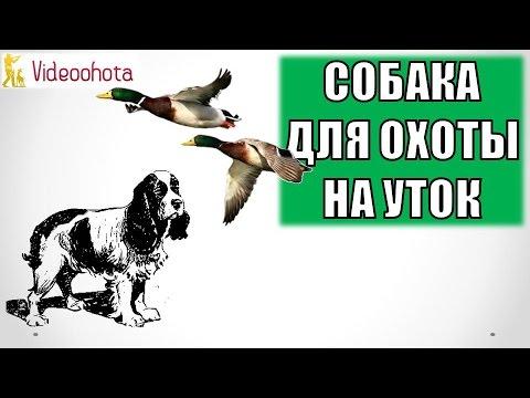 Собака для охоты на уток! Videoohota