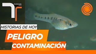 Contaminación en el Río Suquía: el 40 por ciento de los peces tiene problemas para reproducirse