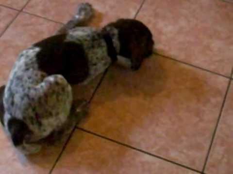 kaiser the German Short Hair Pointer pupie dog
