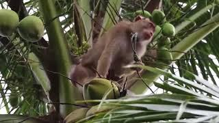 Monyet si pemetik kelapa yang sangat ulung