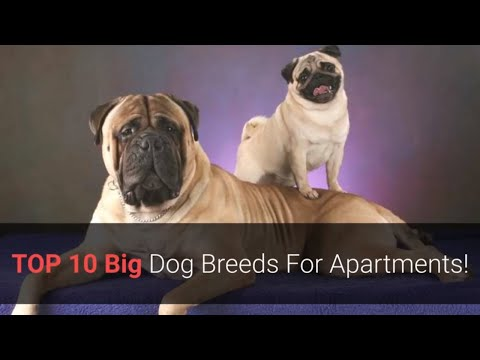 List Of The Top 10 Best Large Dog Breeds For Apartment Living!