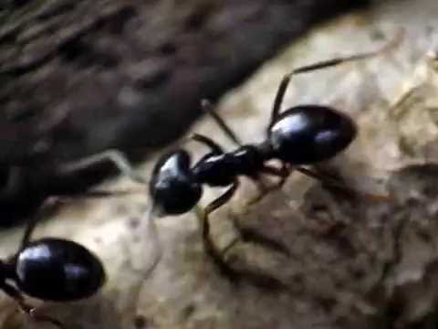 Lasius fuliginosus ant trail