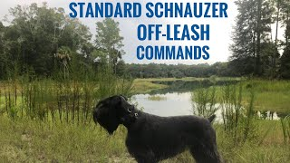 Standard Schnauzer Obedience Off Leash Training