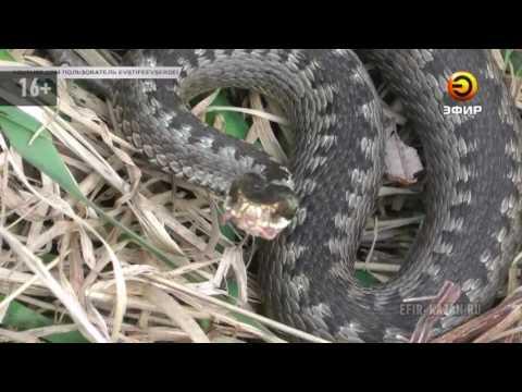 змеинные укусы в некрасовском районе