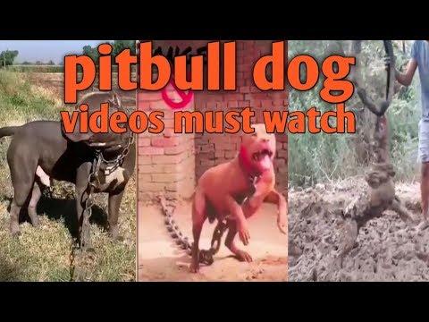 Baixar PUNJAB Pittbulls - Download PUNJAB Pittbulls | DL Músicas