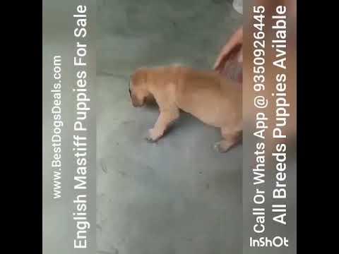 English Mastiff 9350926445 Puppies For Sale In Faridabad Delhi NCR Gurugram Noida Gujrat Vijawada