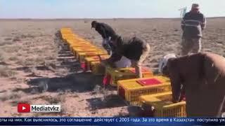 В обмен на инвестиции: охотиться на краснокнижных птиц разрешили арабским шейхам