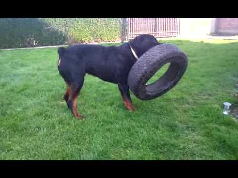 Young male Rottweiler ...