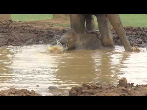 Baby Elephant Playing in the Mud Redefines Cute