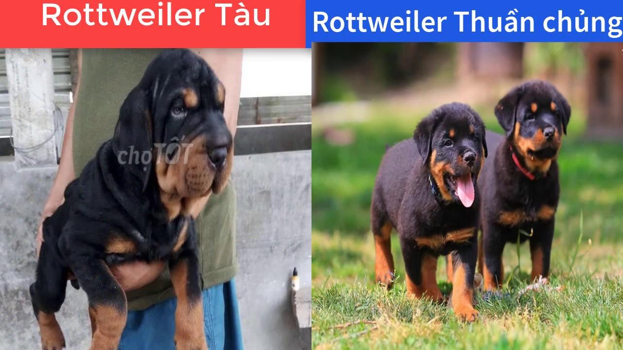 So Sánh chó Rottweiler Thuần Chủng Và Chó Rottweiler Tàu    Comparison of Rott and China Rott