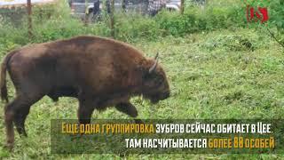 В Турмонский заказник Северной Осетии выпустили 6 краснокнижных зубров