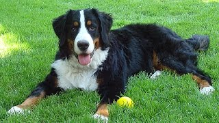 "Хочу собаку. Бернский зенненхунд | Телеканал ""Мама"""
