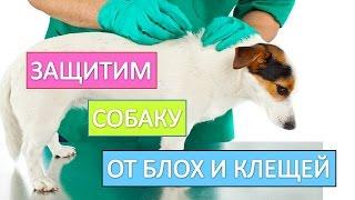 Блохи и клещи у собак. Как  правильно  защитить собаку от блох и клещей.