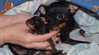 Рождение щенка мини Той Терьера. Childbirth Toy