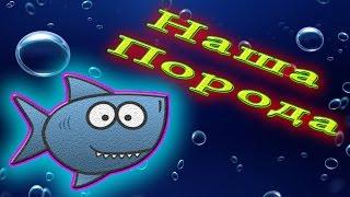 Аквариумная рыбка Барбус четырехлинейный