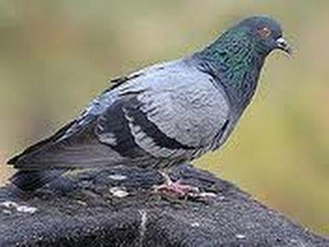 turquie les pigeons culbuteurs de la cappadoce youtube. Black Bedroom Furniture Sets. Home Design Ideas