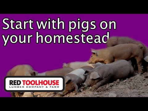 Ep145:Why We Started With Pigs First On Our Homestead (and You Should Too)