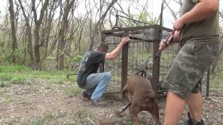 Hog Trap 28, 3 Little Pigs and a Pit Bull