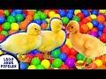 Lagu Anak Lucu Cicit Cuit Cit Cit Cuit Bebek Berenang Lagu Anak Indonesia Terpopuler