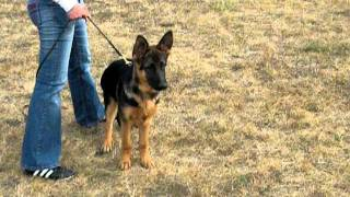 German Shepherd Dog, Female, 4 Months Old