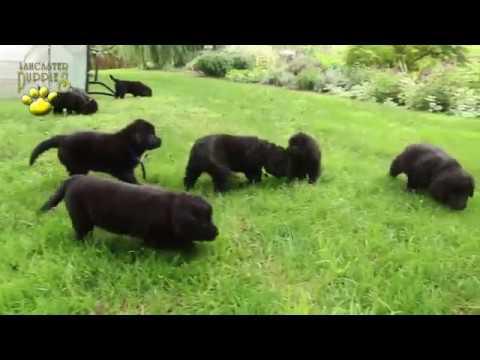 Bernese Mountain Dog Mix Puppies
