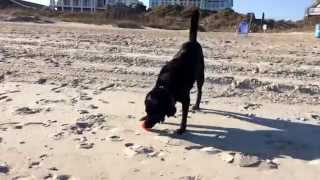 Madeline, My 10 Year Old Labrador Retriever Plays Fetch At The Beach On Emerald Isle, Nc