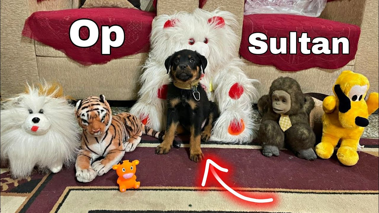 Sultan K New Toys || Sultan the Rottweiler || Roxy ke Puppies | Rottweiler, Review reloaded