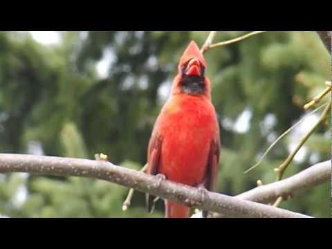 Cardinal Call