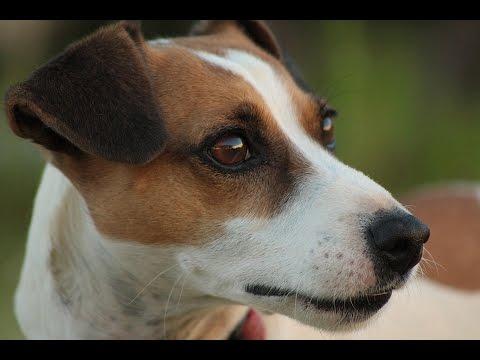 Jack russell terrier raza de perro youtube - Jack russel queue coupee ...