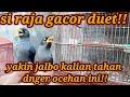 Volume Kenceng Jalak Kebo Raja Ngoceh  Mp3 - Mp4 Download