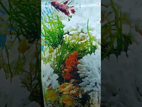 mini-aquarium-betafish-dari-pvc