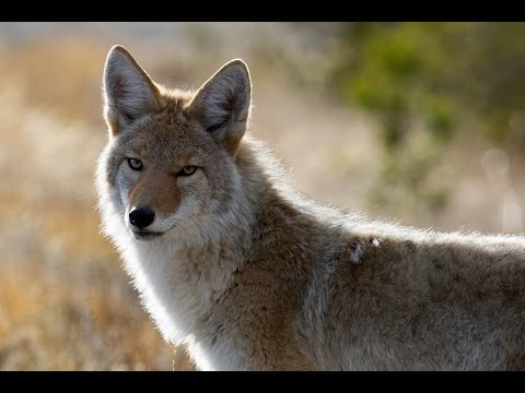 Discover The Amazing COYOTE, An Intelligent And Adaptable Member Of The Dog Family