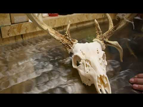 Best Way To Clean A Deer Skull? | Best European Mounts |Beetle Juice Skull Works