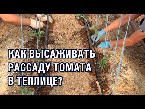 Как высаживать рассаду томата в теплице. СОВЕТЫ АГРОНОМА по высадке помидоров