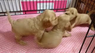 生後28日のカーフィの子犬達。 離乳食も始めて、トイレシーツの上でオシ...